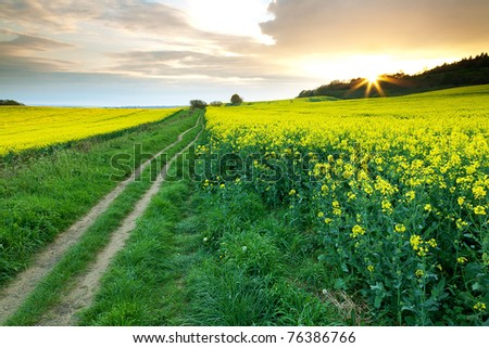 A pathway heads into the distance between two rapeseed fields.  The setting sun creates a sunburst effect. - stock photo