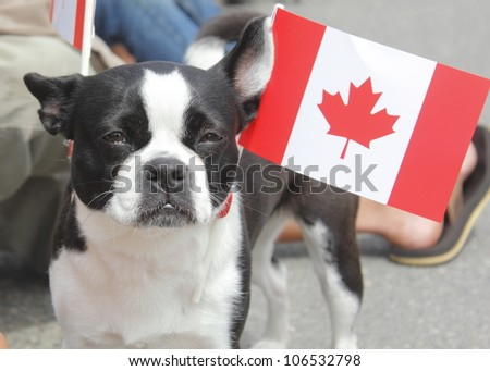 A patriotic Canadian Boston Terrier proudly shows his colors/Boston Terrier from Canada/A Boston Terrier proudly wears a Canadian Flag on his collar - stock photo