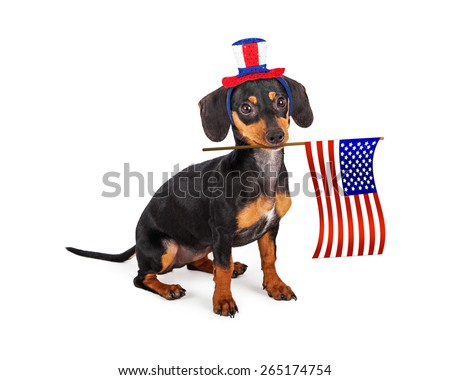 A patriotic little purebred Dachshund breed puppy dog wearing a red, white and blue hat and holding an American Flag in his mouth.  - stock photo