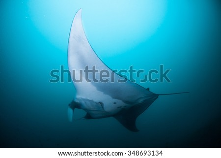 A peaceful manta gliding effortlessly through clear, blue water - stock photo