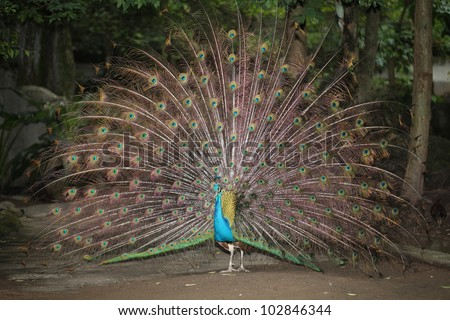 A peacock display