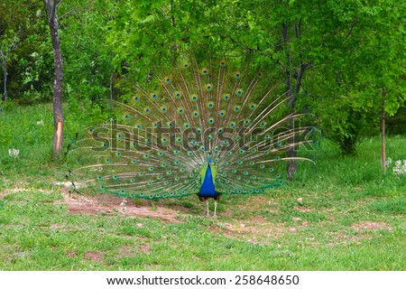 A peacock opens the display for others to observe