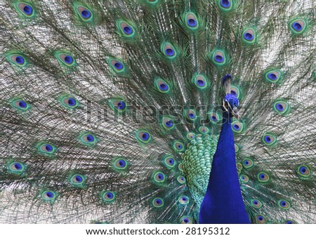 A peacock with feathers spread out. - stock photo