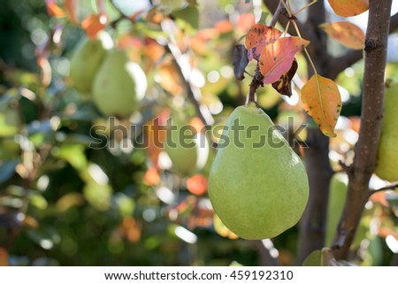 A pear on a branch during the fall