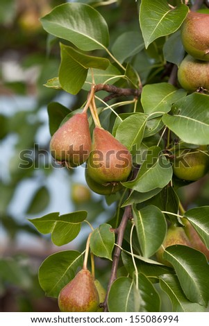 A pear tree branch with ripe fruits on it - stock photo