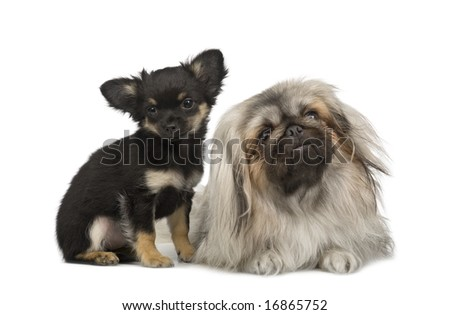a Pekingese and a chihuahua in front of a white background