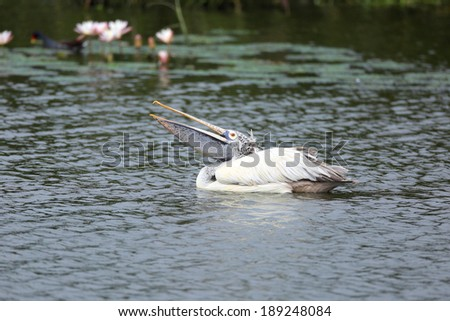 A Pelican bird is  swimming in the water - stock photo