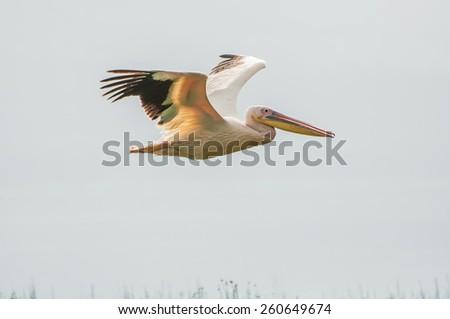 A pelican flying over Lake Nakuru in Kenya. - stock photo