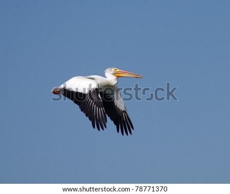 A pelican in Colorado flying against a blue sky in summer