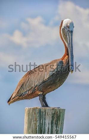 A Pelican sits on dock piling in Key West, Florida