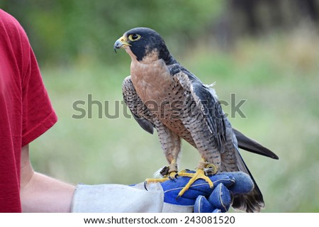 A peregrine falcon, Falco peregrinus, also known as the peregrine, and historically as the duck hawk in North America, is a widespread bird of prey in the family Falconidae. Perched on a gloved hand - stock photo