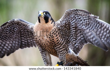A Peregrine Falcon poses for the camera at the Carolina Raptor Center. - stock photo