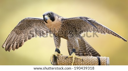 A Peregrine Falcon tethered to a perch. The largest falcon over most of the North American continent, with long, pointed wings and a long tail. - stock photo