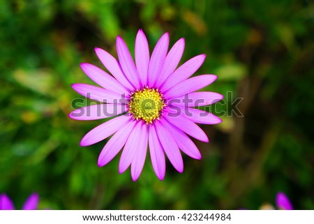 A perfect pink flower with a yellow center - stock photo