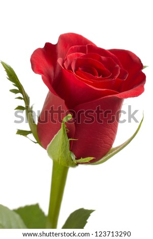 A perfect red rose on white background - stock photo