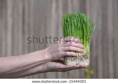 A person holds a bunch of young grass sorputs