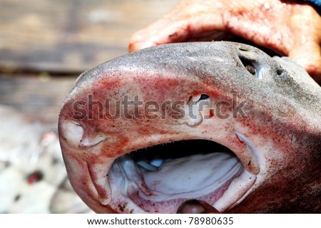 a person opening the mouth of a shark with his hands - stock photo