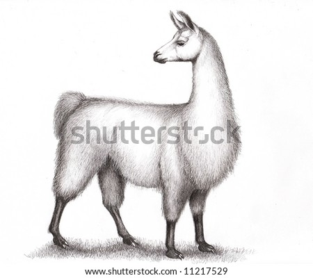 A Peruvian llama in pen and ink by animal artist, Carolyn McFann. - stock photo