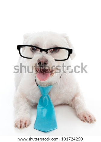 A pet dog wearing black rimmed eye glasses and blue neck tie. - stock photo