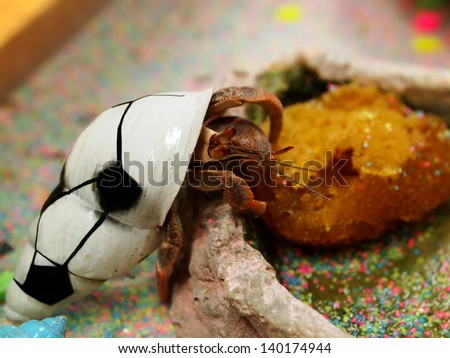 A pet hermit crab in a shell painted a soccer ball climbs into his feeding dish. - stock photo