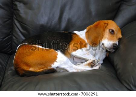 A pet sitting on the sofa sadly - stock photo