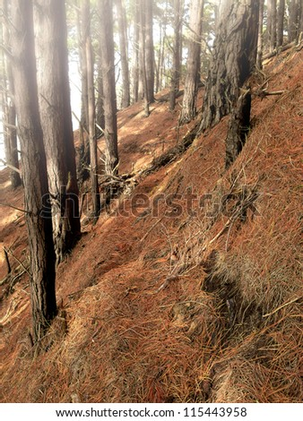 a photo fog in dark pine forest in fall - stock photo