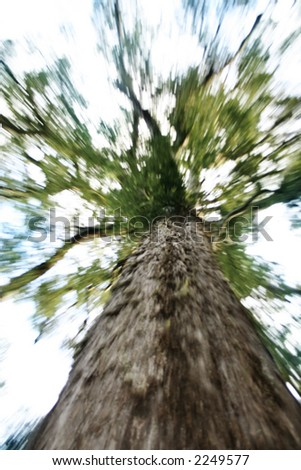 A photo of a big tree taken from below. Artwork:  Movement on photo.  Lens were zoomed in and out while the picture was taken. - stock photo