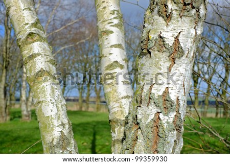 A photo of a Birch tree - stock photo