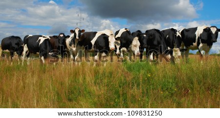 A photo of a black and white cow in natural setting - stock photo
