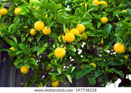 A photo of a lemon tree with lemons.  - stock photo