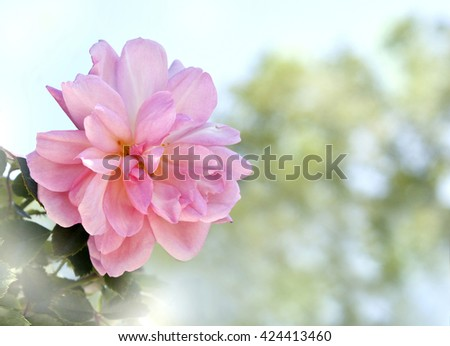 A photo of a pink rose on a blurred natural background, with lots of copyspace - stock photo