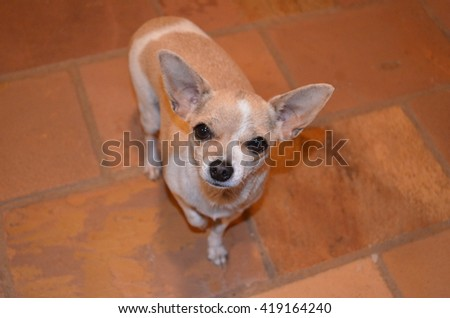 A photo of a puppy Chihuahua, photographed in the indoor.