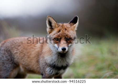 A Photo of a wild fox in The Netherlands - stock photo