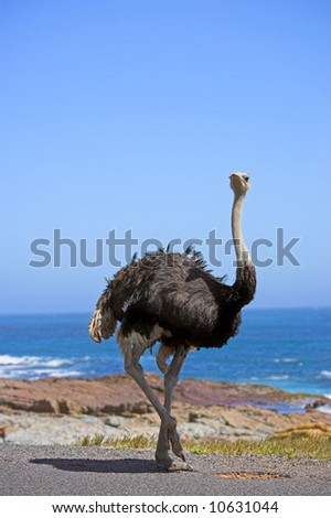 A photo of a wild ostrich in South Africa