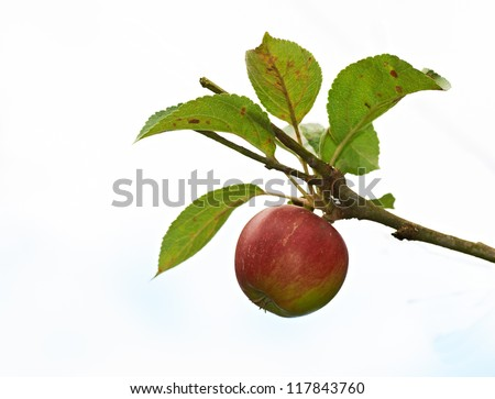 A photo of apples - stock photo