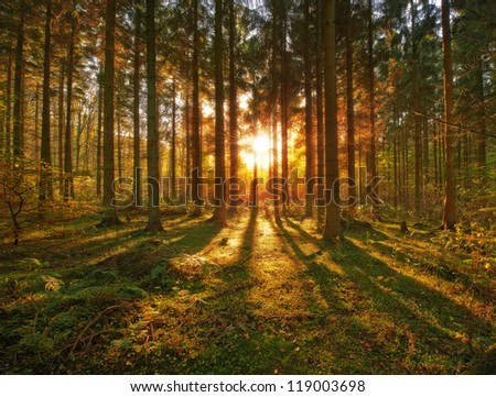 A photo of pine forest at sunset