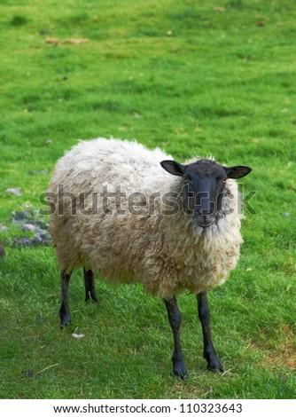 A photo of sheep in New Zealand