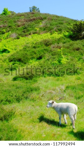 A photo of sheep in New Zealand - stock photo