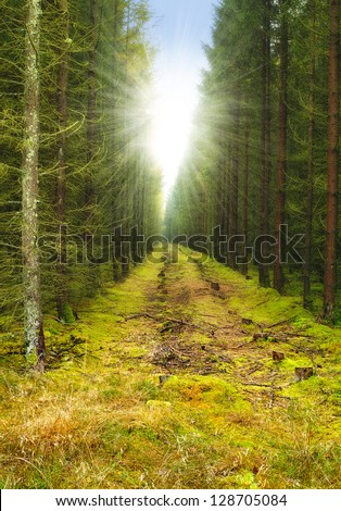 A photo of sunrise in pine forest - stock photo