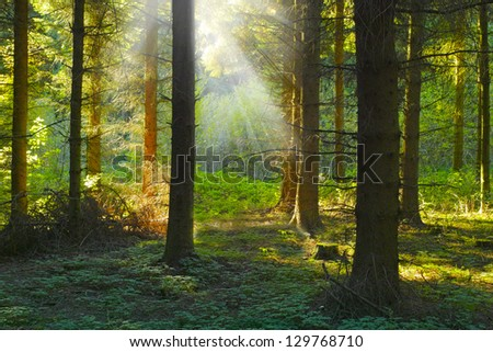 A photo sunrise in a pine forest - stock photo
