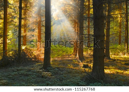 a photo sunset in dark pine forest in fall