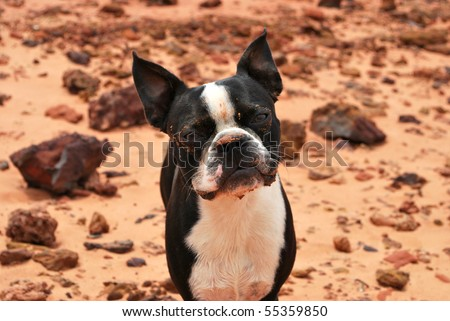 A photograph of a boston terrier puppy with a dirty face against a rock and sand background. - stock photo