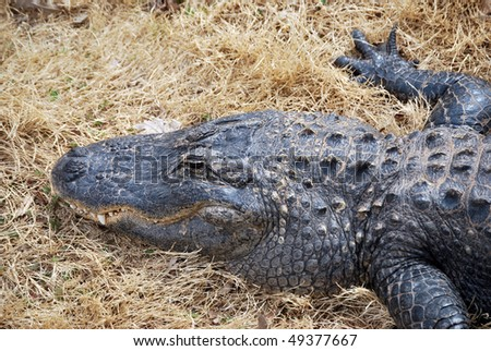A photograph of a crocodile resting on the ground.