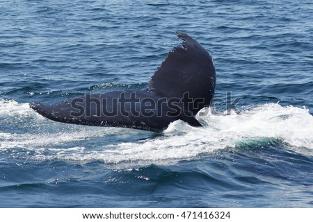 A photograph of the tail of a humpback whale after surfacing to feed off the coast of Provincetown in Cape Cod, Massachusetts, United States.