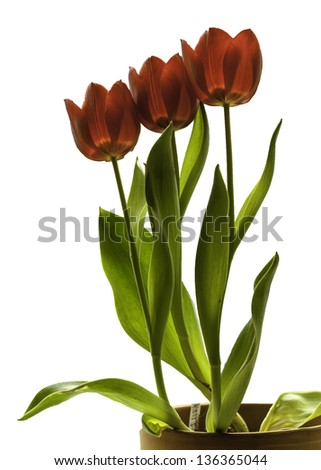A photograph of three red potted tulips isolated against a white background.  This nature photography has the top of the pot, stems, leaves and three bright spring blossoms. - stock photo