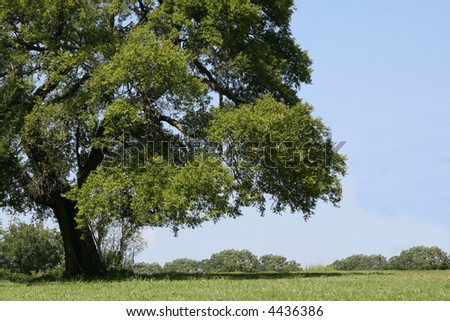 A photograph taken of a large shade tree in Oklahoma.
