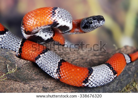 a picture of a beautiful false coral snake