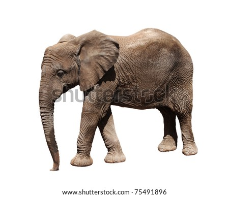 A picture of a big african elephant walking over white background