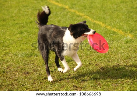 A picture of a black and white border collie catching pink frisbee on the green grass - stock photo