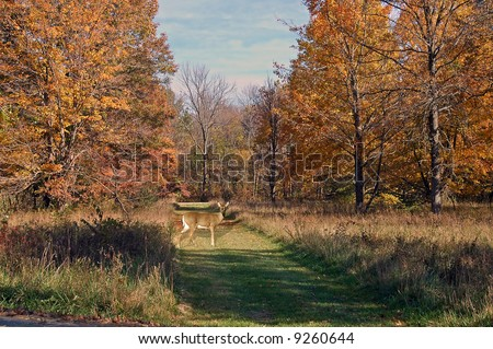 A picture of a doe deer on a path during fall colors